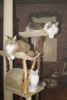 3 Maine Coons in a tree